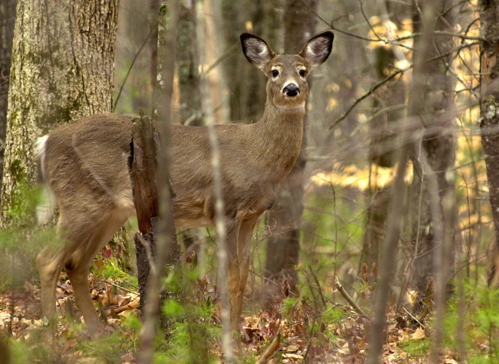 A white tail deer was caught feeding on new growth on the forest floor at Sebago Lake State Park in this file photo. Four deer were shot in the past week in the Livermore area, an act condemned by state hunting and fishing officials who say it's unsafe and also preys on vulnerable animals after a long winter.