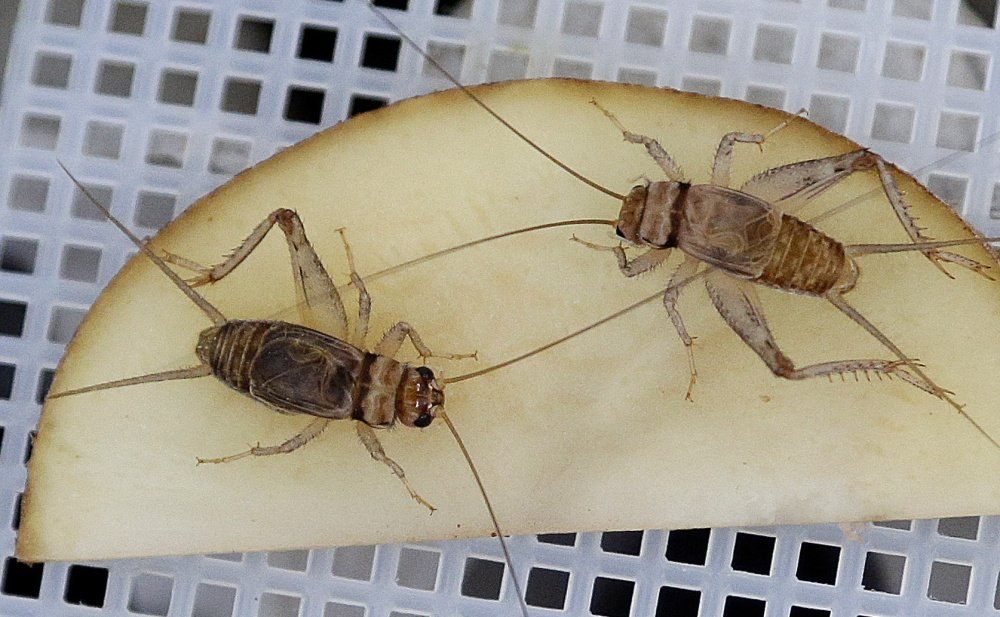 Banded crickets retrieve moisture from a sliced potato in an experimental cricket habitat made from egg cartons in Oakland, Calif.