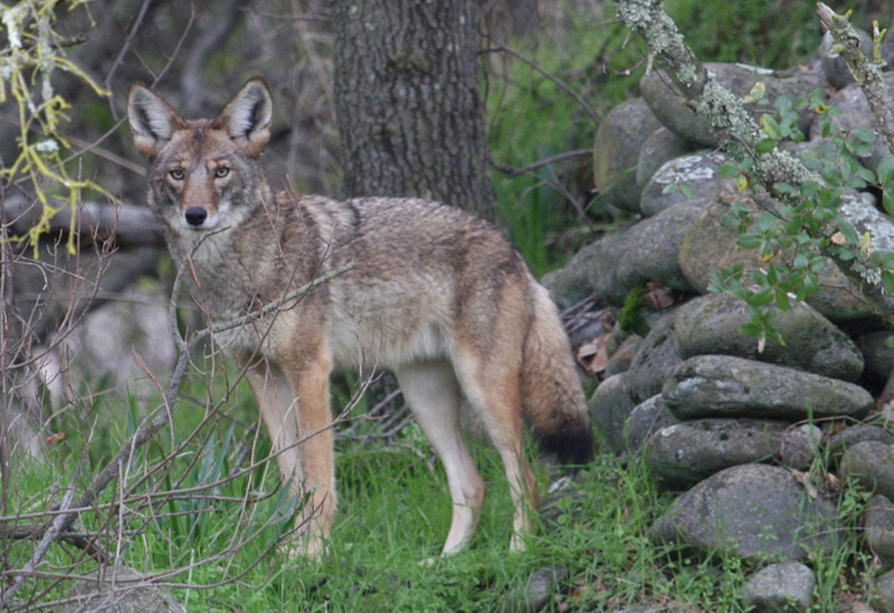 With coyotes like the one above ensconced in the Bronx, others are probably heading into Manhattan this spring to seek their own turf, says conservation biologist Mark Weckel.