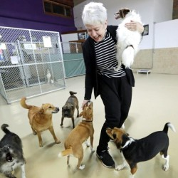 Beverley Petrunich, co-owner of DoGone Fun, a day care and boarding facility, visits with some of her clients in Chicago. Petrunich says when the virus emerged in Chicago, her canine clients were hit hard. The Associated Press