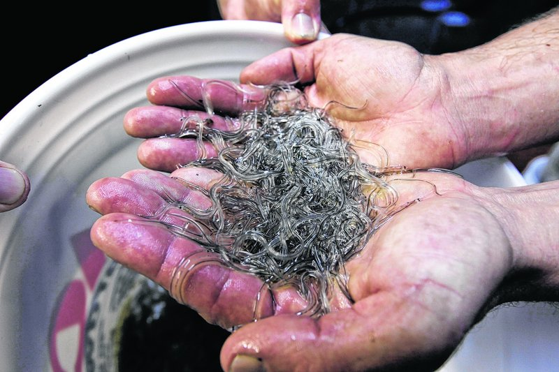 Elvers, or glass eels, can fetch hundreds or thousands of dollars a pound.