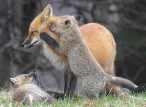 Fox kits play with a vixen Monday near their den in Hallowell. Neighbors have reported seeing four kits emerge from the den and a healthy pair of parents returning with critters to sustain them.