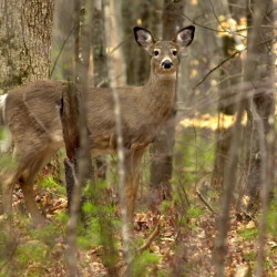 A white tail deer looks up while feeding on new spring growth on the forest floor at Sebago Lake State Park in this file photo. Four pregnant deer in the Livermore-Chesterville area have been shot and killed between April 22 and April 29.