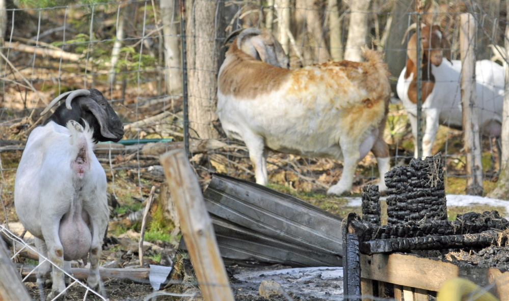 Goats Look At The Burned Remains Of A Barn After Fire Destroyed It Thursday