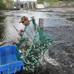 Tommy Keister hauls alewives from the waters of the Sebasticook River in Benton on Friday. The fisherman have been forced to the west side of the stream due to a broken turbine in the hydro-electric dam making the fishing much more difficult and labor intensive.
