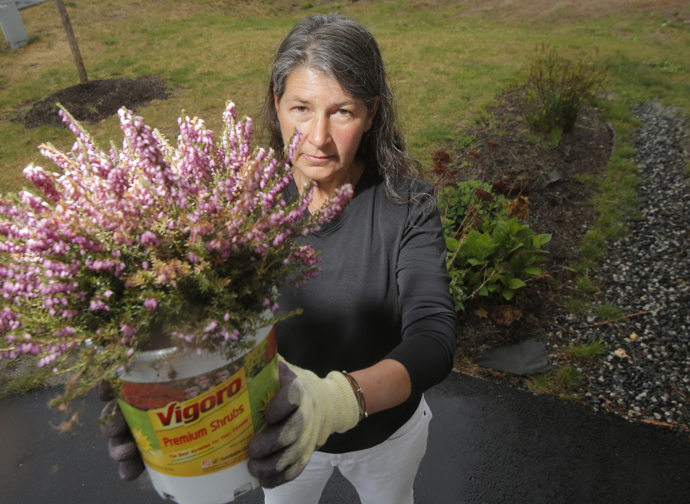Pam Jones of Kennebunk holds a heather plant on Tuesday that she bought at Home Depot in Biddeford recently. Because the label on the pot didn't list any pesticides, Jones thought she was buying a pesticide-free heather plant. When she pulled the plant out of the pot to put it into the ground, she was surprised to find a label at the bottom of the pot stating the plant was treated with a pesticide containing neonicotinoids. She thinks plants that contain pesticides should be clearly labeled in an easy to see place.