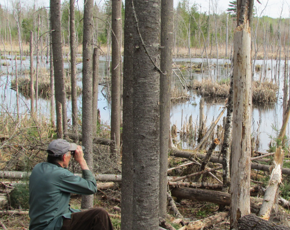 Rick Lawrence, from Benton, observes nesting herons in a colony. Lawrence is part of a statewide volunteer network that has helped Maine wildlife biologists map the state's heron population for the last seven years.