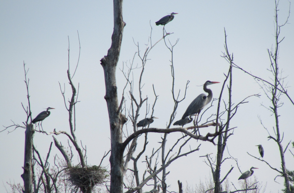 Adult great blue herons stand on dead tree limbs in the middle of a heron colony in Benton. The colony, which has at least 30 nests, is believed to be one of the largest inland nesting sites in Maine.