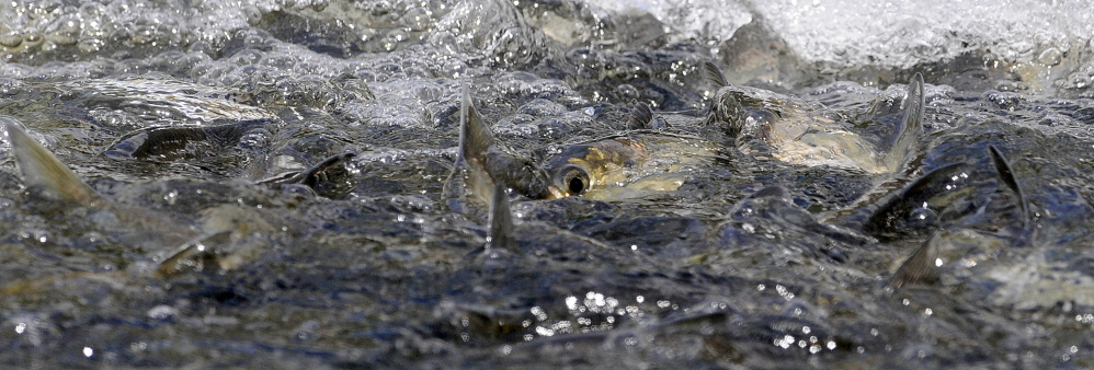 Alewives arrive May 18 at the headwaters of Seven Mile Stream at the dam on Webber Pond in Vassalboro.