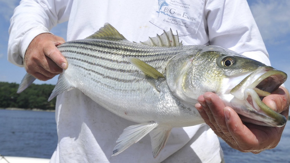 Maine's recreational catch totals for striped bass have dropped precipitously in the last 10 years, but further reduction is needed.