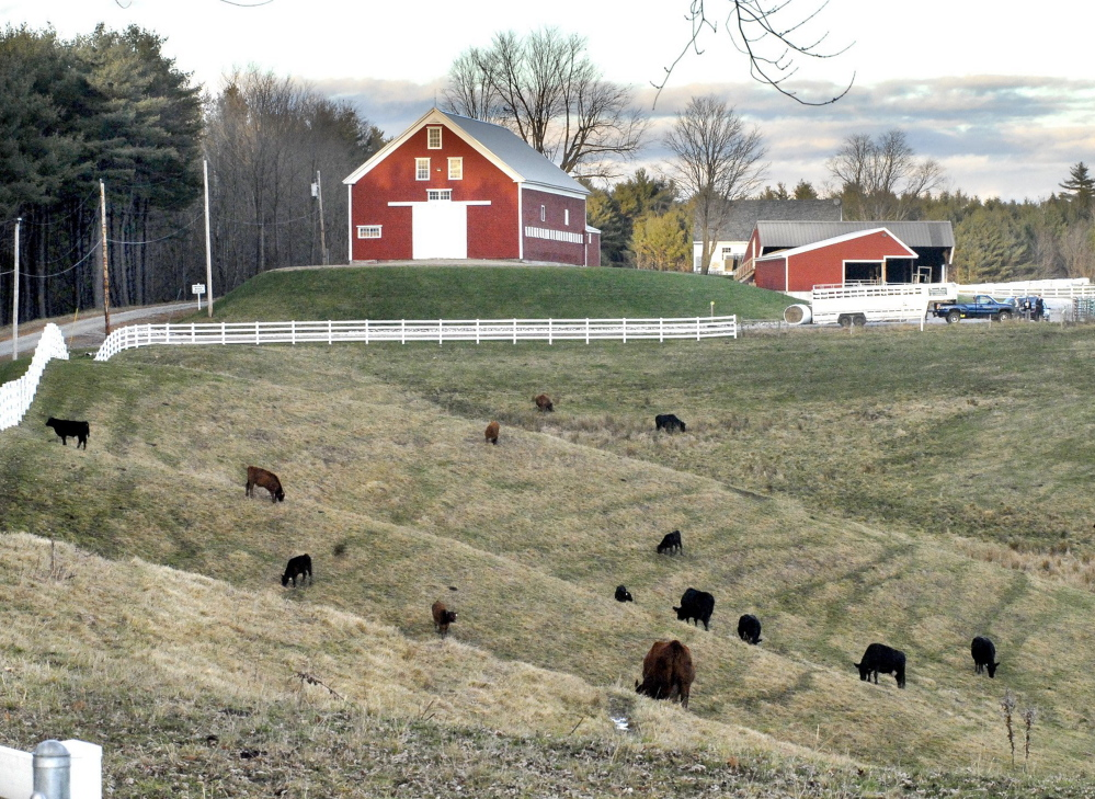 Cattle graze at Collyer Brook Farm in New Gloucester, part of the beef operation at Pineland Farms Natural Meats. A lack of processing plants means the business sends 30,000 head of cattle a year out of New England.