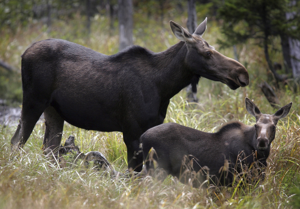 Last year, 20 of 27 moose calves tagged by state biologists had died by late April in New Hampshire, compared to 13 of 22 in 2014.