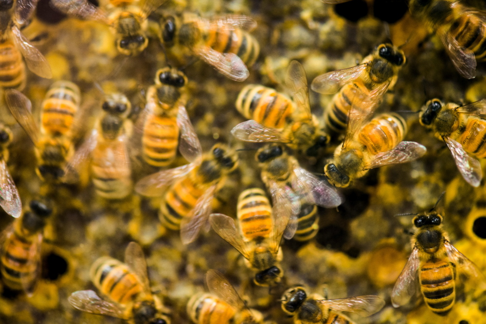 Since April 2014, beekeepers lost 42.1 percent of their colonies, the second highest loss rate in nine years, and then managed to recover a bit, according to an annual survey conducted by a bee partnership that includes the U.S. Department of Agriculture. The Obama administration wants to make federal lands more hospitable to the pollinators.