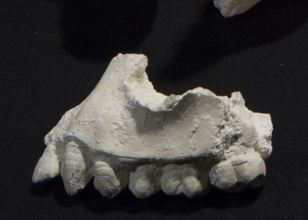 A cast of upper jaw fragments and teeth of Australopithecus deyiremeda. Cleveland Museum of Natural History