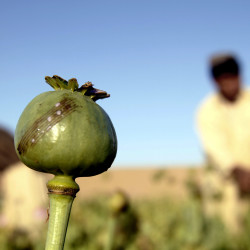 Afghan farmers harvest raw opium in a poppy field in Kandahar's Zhari district. This year, many poppy farmers are expecting a windfall as they get ready to harvest opium from a new variety of poppy seeds.