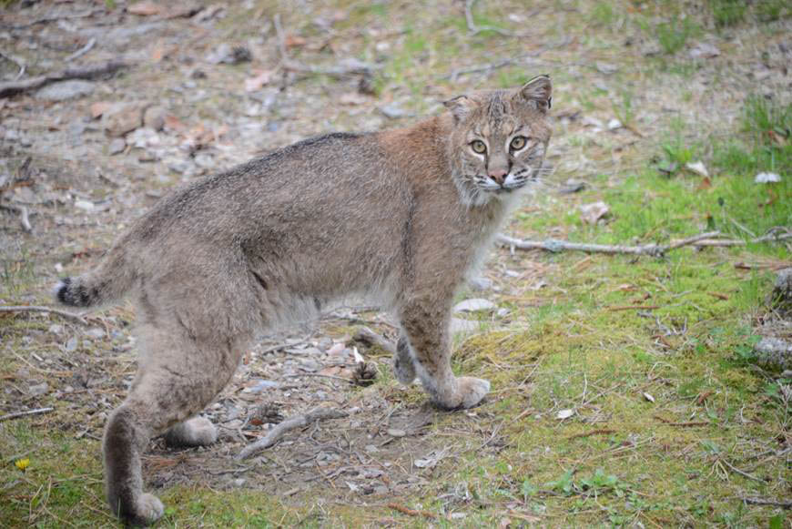 Scarborough Couple Warn Neighbors About Bobcat Central Maine
