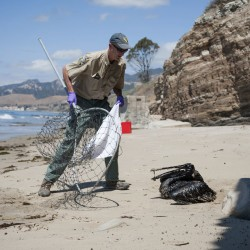 Mike Harris, of the California Department of Fish and Wildlife, prepares to rescue a pelican covered in oil on the beach about a mile west of Refugio State Beach, Calif., Wednesday. Kenneth Song/The News-Press via AP