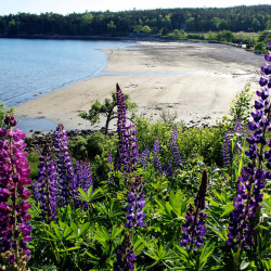 Lupines fill the hillside above Seal Harbor on Mount Desert Island. David Rockefeller will transfer more than 1,000 acres of his family property at Little Long Pond in Seal Harbor to a local nonprofit.