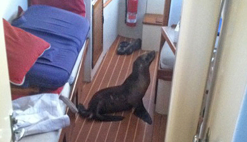 This 35-pound sea lion pup found its way aboard Michael Duffy's yacht in San Diego, Calif., on Sunday.  Photo courtesy of Michael Duffy via AP
