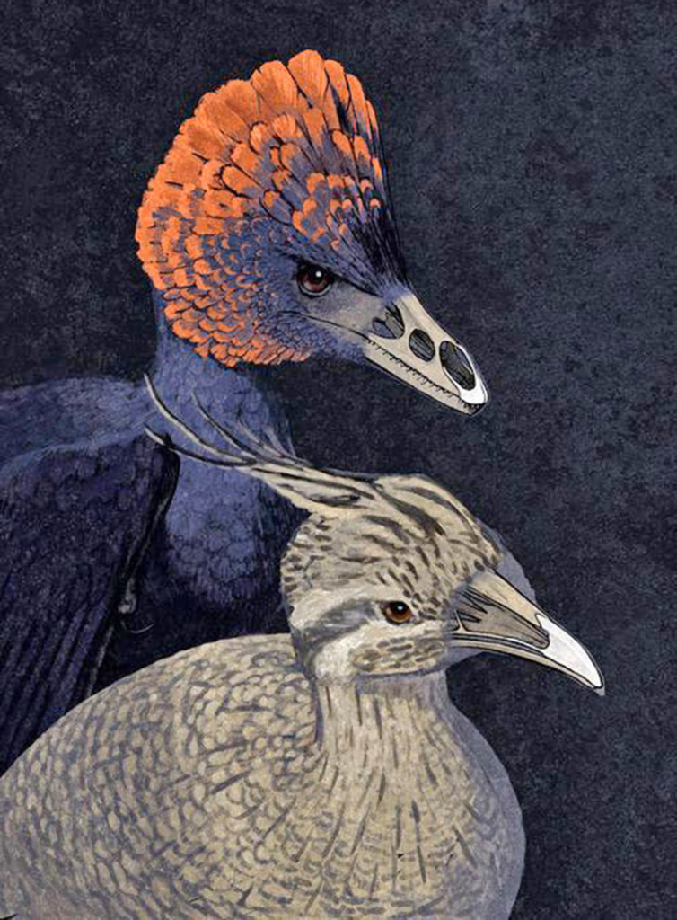 This is an artist's conception of the dinosaur Anchiornis and a modern tinamou with premaxillary and palate bumps highlighted. Scientists have replicated the molecular processes that led from dinosaur snouts to the first bird beaks. Illustration by John Conway/Courtesy of Yale University
