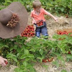 Cole Arbour, 4, helps his grandmother, Jeanne Rocque, pick berries Monday at Stevenson's Strawberries in Wayne. Crowds of pickers swarmed the fields that opened to the public on Monday to harvest the first Maine fruit of summer. Arbour and Rocque drove out from Augusta with Arbour's brother, Aiden Paradis, 9.
