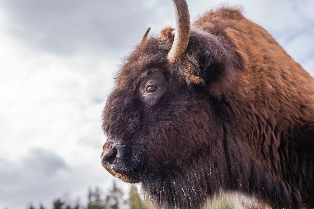 Those bison horns aren't just for digging for tasty vegetation, as an Australian tourist learned the hard way Tuesday. Lest others not get the message, graphic fliers are being handed out by the National Park Service.