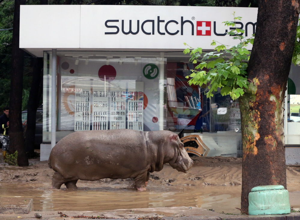A hippopotamus stands in the mud in front of a Swatch watch kiosk after it escaped with lions, tigers and other animals from a flooded zoo in Tbilisi, Georgia, Sunday.