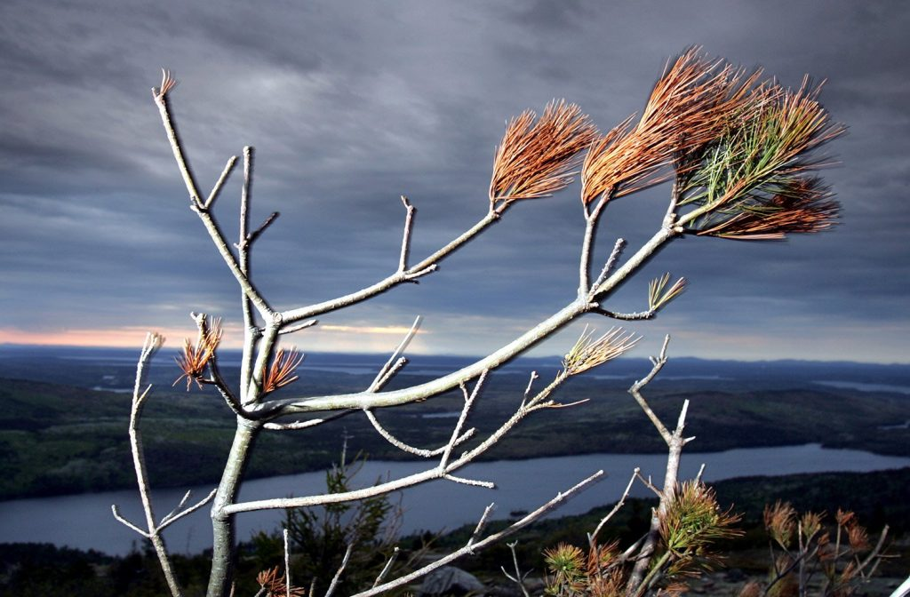 A white pine with brown needles is seen on Cadillac Mountain, Thursday, May 25, 2006, at Acadia National Park in Maine. High ozone levels in Acadia threaten the white pine, Maine's state tree. The Associated Press