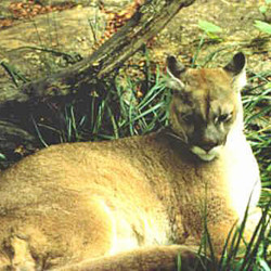 pineland cougar women Thus, conserving their habitat of cypress swamp and pineland is key to their survival plight of the  including cougar, mountain lion, and puma.