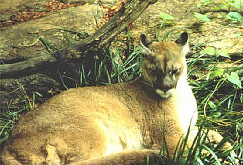 Wildlife officials in 21 eastern states say the eastern cougar has vanished from the region. U.S. Fish & Wildlife Service photo via Wikipedia