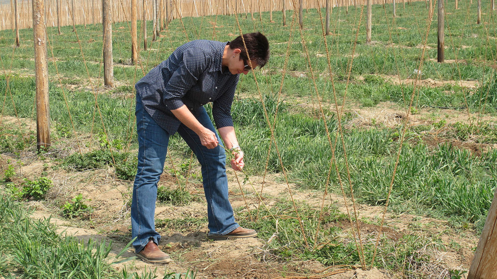 Hop official Ann George handles a hop plant in Moxee, Wash. Spectacular growth in production of craft beer across the U.S. has led to a big growth in the production of hops, a boon for farmers in Washington state's Yakima Valley where 75 percent of the nation's hops are produced.