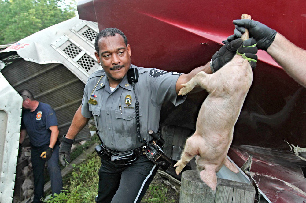 An officer passes off a pig after a semitrailer overturned on U.s. Route 35 in Xenia Township, near Dayton, Ohio. The Dayton Daily News via AP