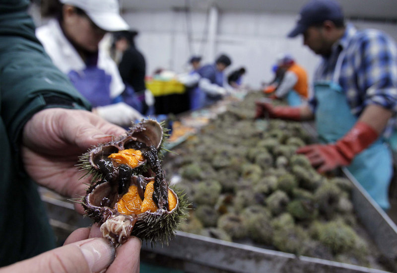 At a processing plant in Portland, a sea urchin is split open to reveal bright orange roe.