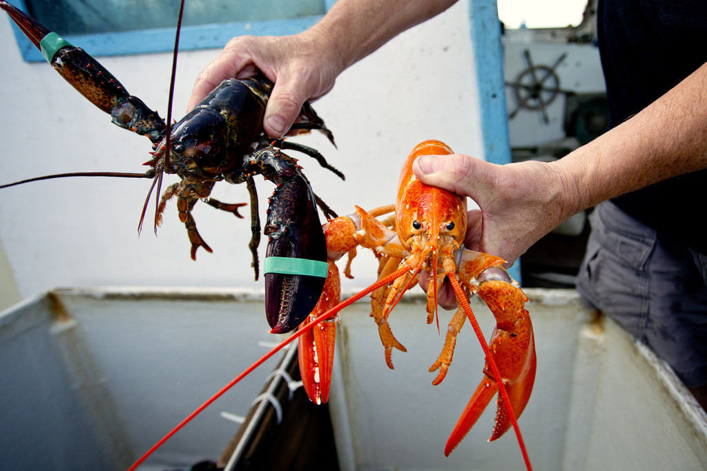 Bill Coppersmith of Windham holds a normal looking lobster next to a bright orange lobster that he caught while fishing in deepwater canyons in the Gulf of Maine with his steersman Brian Skillings.  Gabe Souza/Staff Photographer