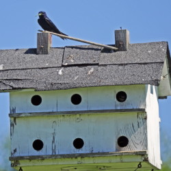 A martin sits on a house recently at the Yeaton Farm in Belgrade.