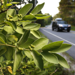 In this Friday photo, berries grow on a Morrow's honeysuckle shrub spreading alongside a road in Freeport. The state has a problem with invasive plants, including honeysuckle, and it's going to try to fix it with the Internet. Maine is using a new online mapping tool to try to identify and cut down plants that choke out native species in beloved natural areas.