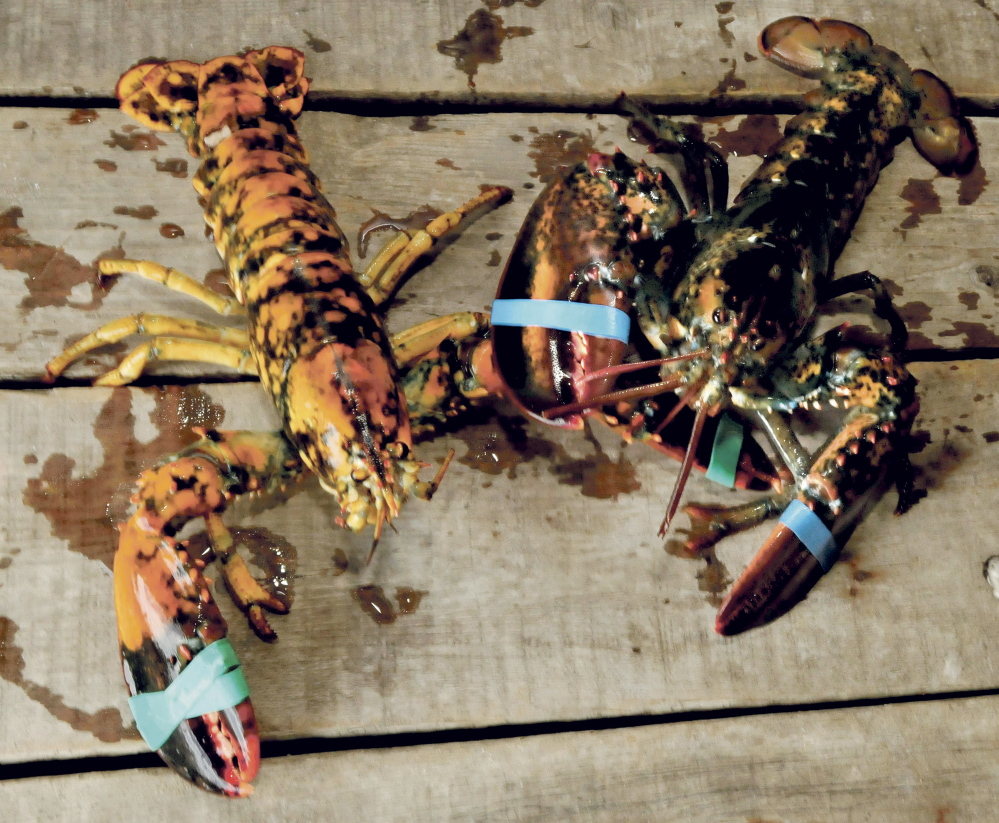 A rare calico lobster, at left, beside a normal lobster at 201 Market store in Skowhegan on Thursday.