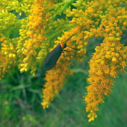 A lichen moth rests on a spray of goldenrod blossoms.