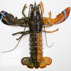 A orange-brown split colored lobster was photographed at the Pine Point Fisherman's Co-Op on Monday. According to research by the Lobster Institute, the chances of finding a split colored lobster is one in 50 million. Only the albino lobster, one in 100 million, is rarer than the split-colored lobster, according to the institute.