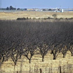 A row of dead almond trees in Fresno, Calif. The water-thirsty crop is mostly grown in California, where a drought is now in its fourth year.