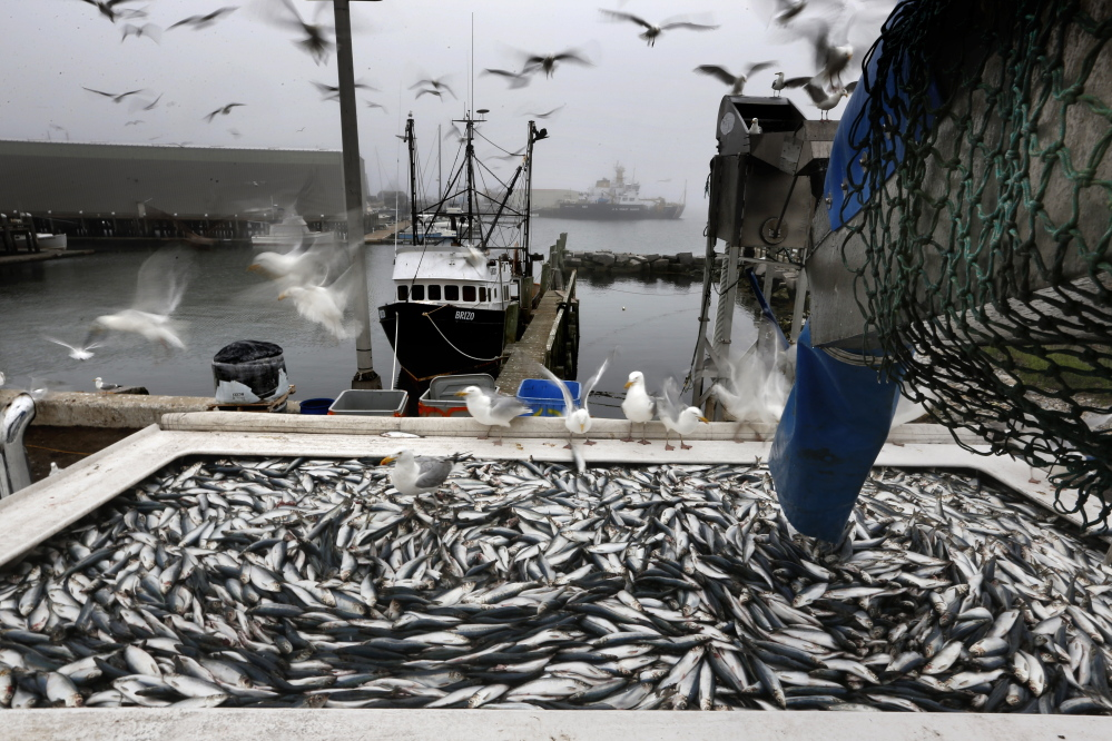 """Herring are unloaded from a fishing boat in Rockland. New England fishermen are catching staggering amounts of herring but Peter Baker, who directs the Herring Alliance conservation group, worries that """"if you've got a boat that can catch half a million pounds overnight"""" it changes the entire food chain in the area."""
