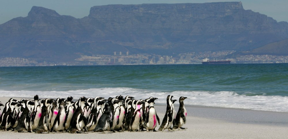 The march of the penguins has long been a popular tourist draw on the South African coast, but researchers say the well-being of the species is at risk as overfishing and climate change threaten their food sources.
