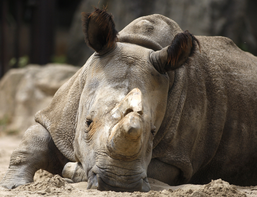 Nabire at the zoo in Dvur Kralove, Czech Republic in 2011. She was one of only five white rhinoceroses in the world.