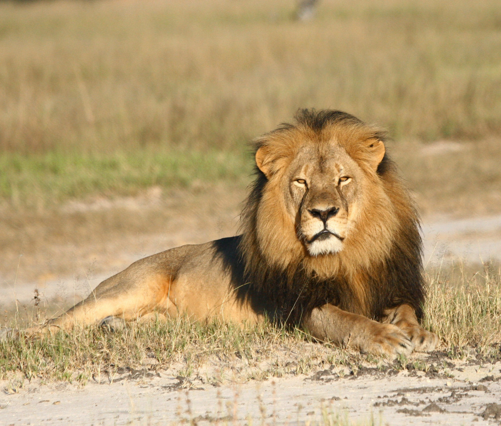 Cecil the lion was shot with a crossbow by Minnesota dentist Dr. Walter Palmer.  The wounded animal was then tracked for more than 40 hours before Palmer fatally shot it with a gun.