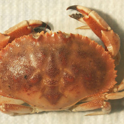 Jonah crab catch increased sixfold from 2000 to 2013. NOAA photo.