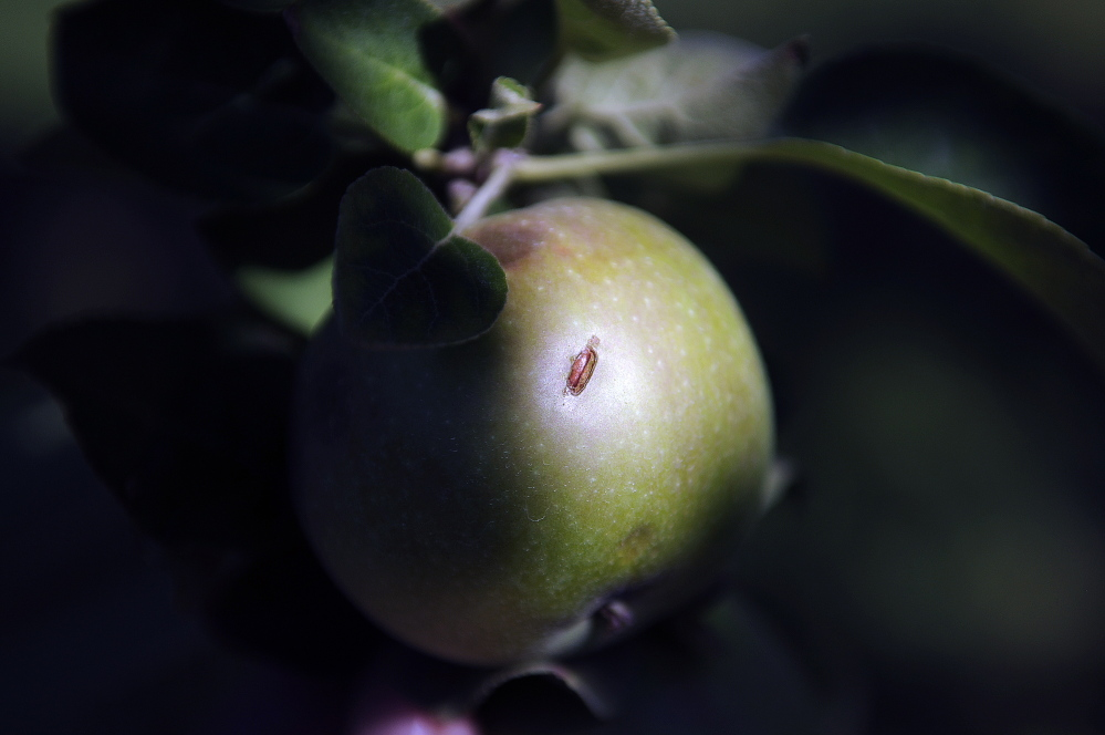 A damaged apple at Lakeside Orchards in Manchester, which was hit by a storm with hail on Saturday.
