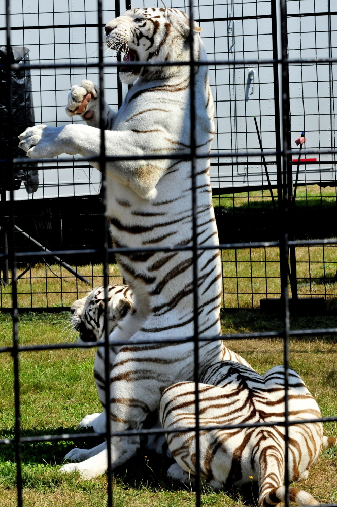 A white Bengal tiger sits on another tiger during a show on Sunday at the Skowhegan State Fair.