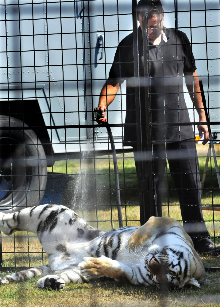 A trainer cools a grateful and cooperative Bengal with a water hose during a show on a hot Sunday at the Skowhegan fair.