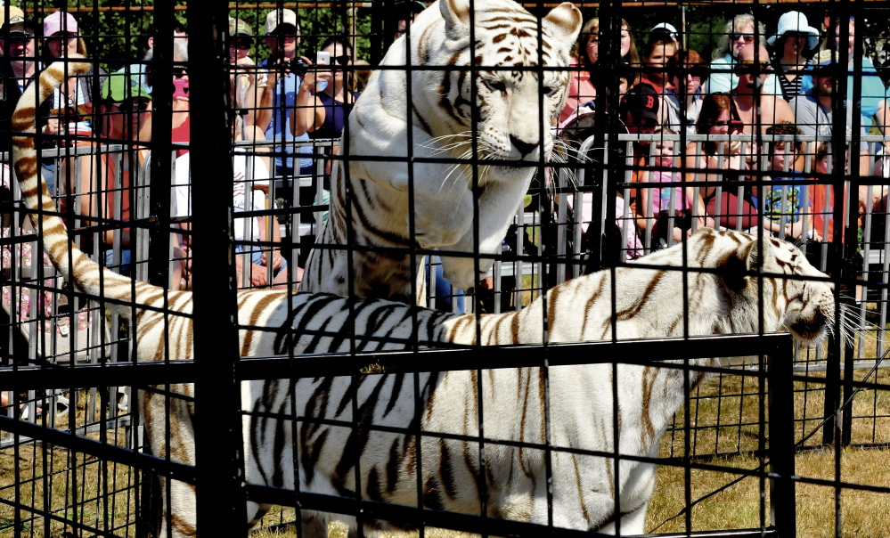A white Bengal tiger leaps over another tiger during a show on Sunday at the Skowhegan State Fair.