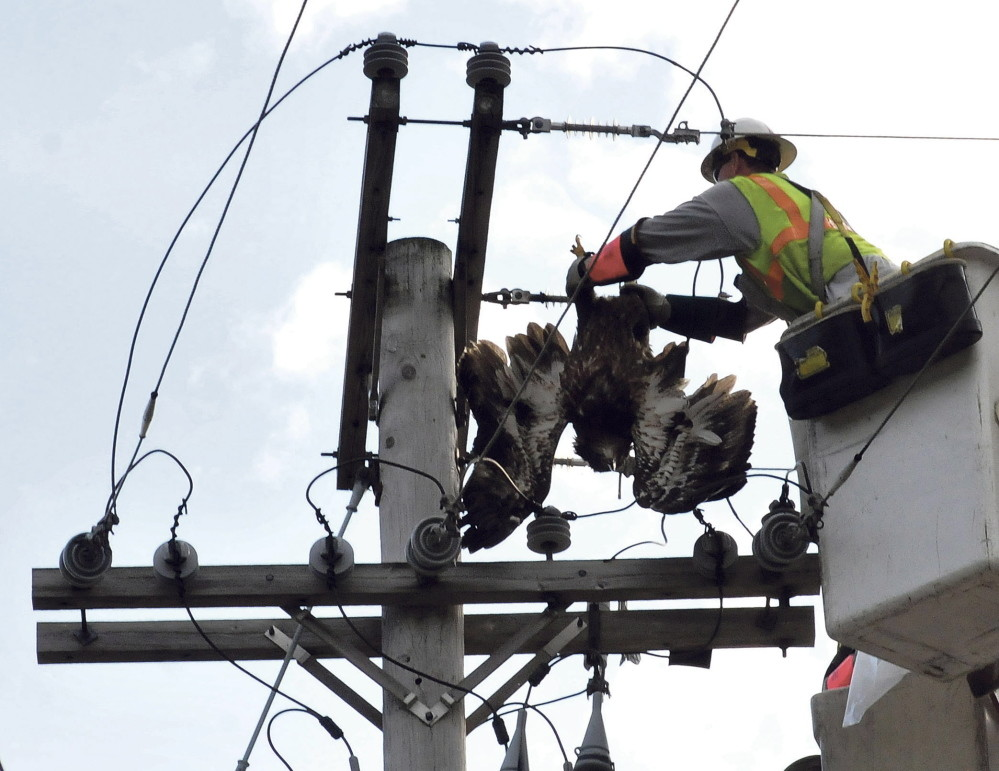 Eagle tangles in Waterville wires, electrocuted
